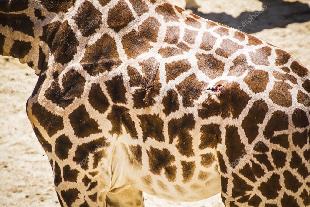 Giraffe in a zoo park