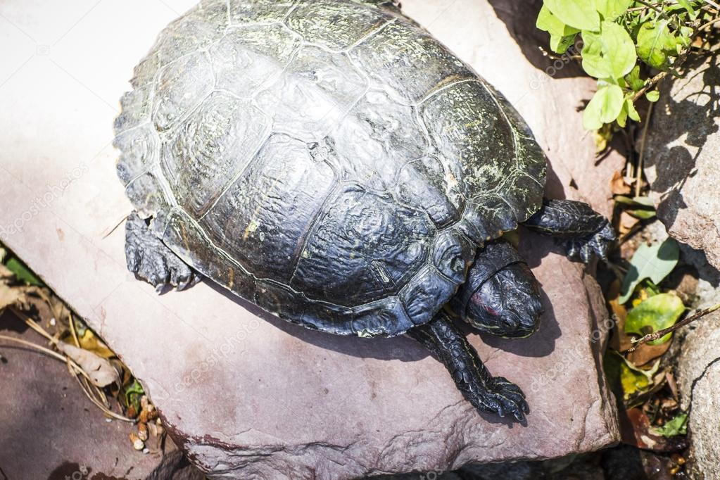 Tortoise resting in the sun