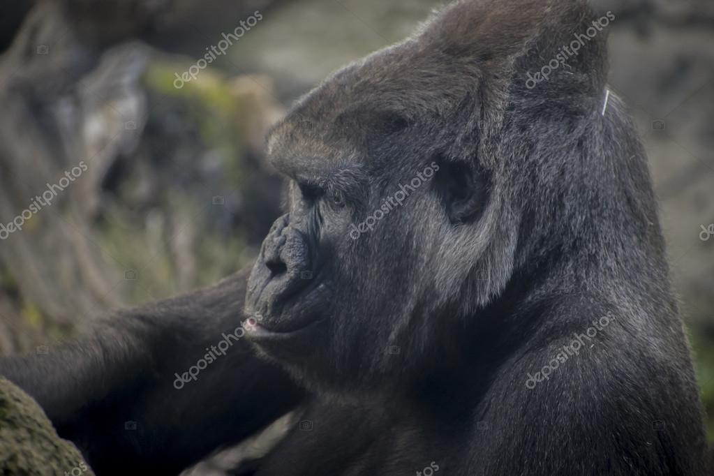 Huge and powerful gorilla