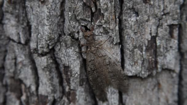 Dobsonfly lezení na strom