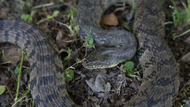 Diamondback Water Snake.