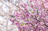 Photo Sakura or Japan cherry blossom branches, which will fully bloomi