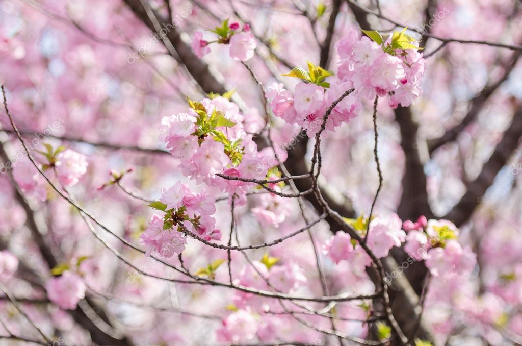 Sakura or Japan cherry blossom branches, which will fully bloomi