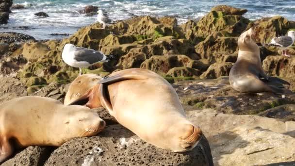 Oroszlánfókák a sziklán La Jollában. Vad fülű fókák nyugszanak a Csendes-óceán közelében köveken. Vicces, lusta vadállat alszik. Védett tengeri emlősök természetes élőhelyen, San Diego, Kalifornia, USA