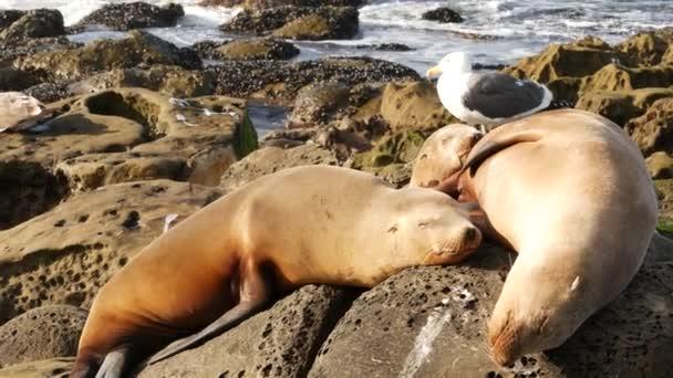 Seelöwen auf dem Felsen in La Jolla. Wildohrrobben ruhen in der Nähe des Pazifiks auf Steinen. Lustige faule Wildtiere schlafen. Geschützte Meeressäuger in natürlichem Lebensraum, San Diego, Kalifornien, USA