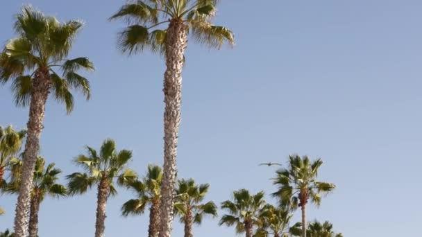 Velcí pelikáni létají, hejno pelekanů se vznáší na obloze. Palmy v Oceanside, Kalifornie USA.