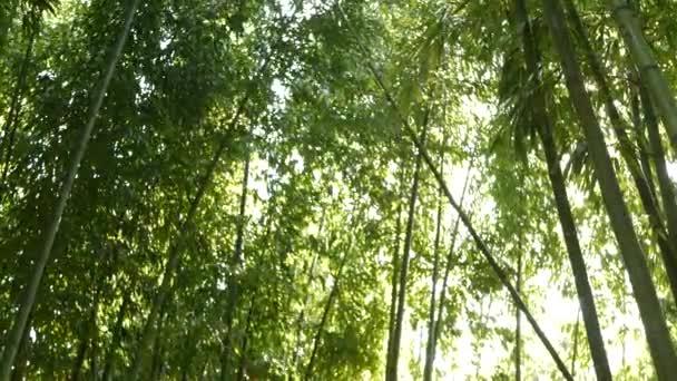 Bambusový les, exotická asijská tropická atmosféra. Zelené stromy v meditativní Feng Shui zen zahradě. Klidný, klidný háj, ranní harmonie svěží v houští. Japonská nebo čínská přírodní orientální estetika