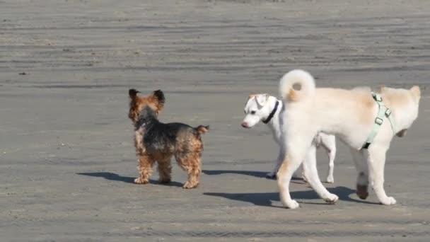 Del Mar, Kalifornien USA - 23 Jan 2020: Hundefreundlicher Strand. Haustiere spielen in der Nähe von Meerwasser, Meereswellen. Spielerisch aktiver Welpe. Ort, an dem viele Hundebesitzer im Kreis San Diego Hunde ausbilden.