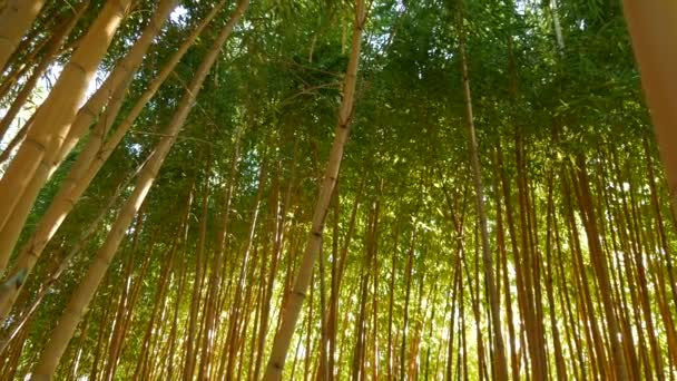 Bamboo forest, exotic asian tropical atmosphere. Green trees in meditative feng shui zen garden. Quiet calm grove, morning harmony freshness in thicket. Japanese or chinese natural oriental aesthetic