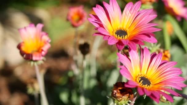 Daisy nebo Marguerite barevné květiny, Kalifornie USA. Aster nebo mys Marigold vícebarevný fialový květ. Home Zahradničení, Americké dekorativní okrasné rostliny, přírodní botanická atmosféra