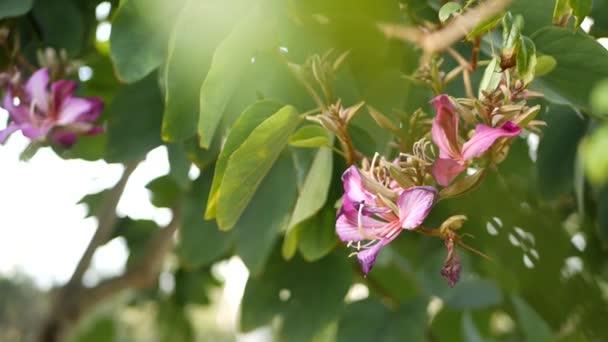 Lila bauhinia orchidea virág virág virág, Kalifornia USA. Violet egzotikus trópusi virágzás, dzsungel esőerdő légkör lágy fókusz. Élénk sötét bíbor természetes botanikus virágos finom szirmok közel