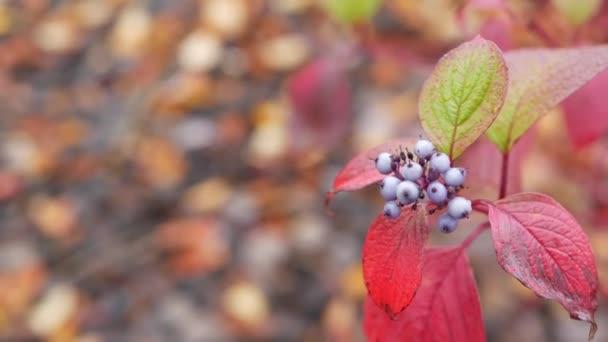 Červené podzimní listy, lesní bobule lesní nebo lesní. Listoví v parku.