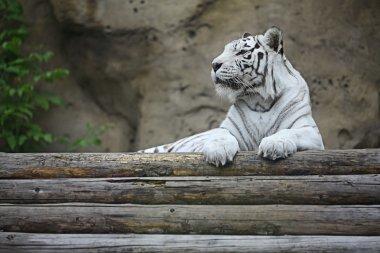 White albino tiger