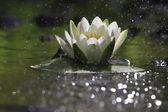 Lily Květina na jezeře