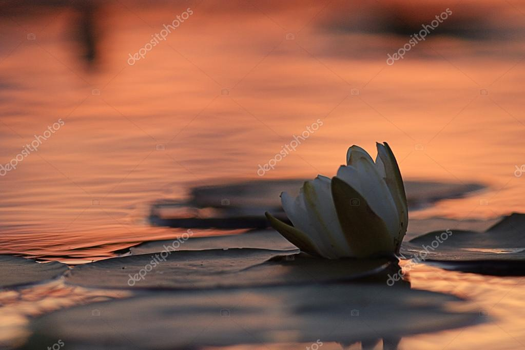 White lilies on sunset