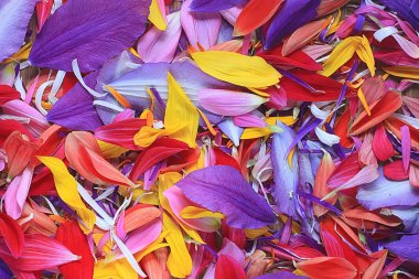 Multicolored flower petals