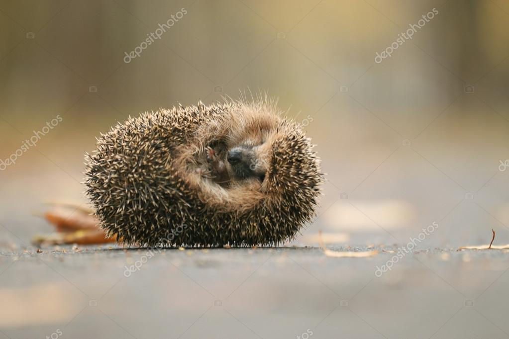 Hedgehog in forest