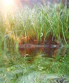 Fotografie zelené trávě Rosa