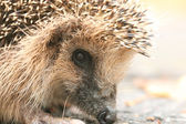 Fotografie Hedgehog in forest