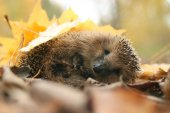Fotografie Hedgehog in forest