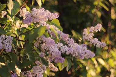 Lilac flowers branch