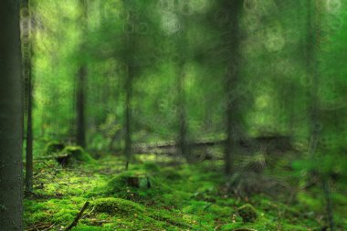 green summer spruce forest