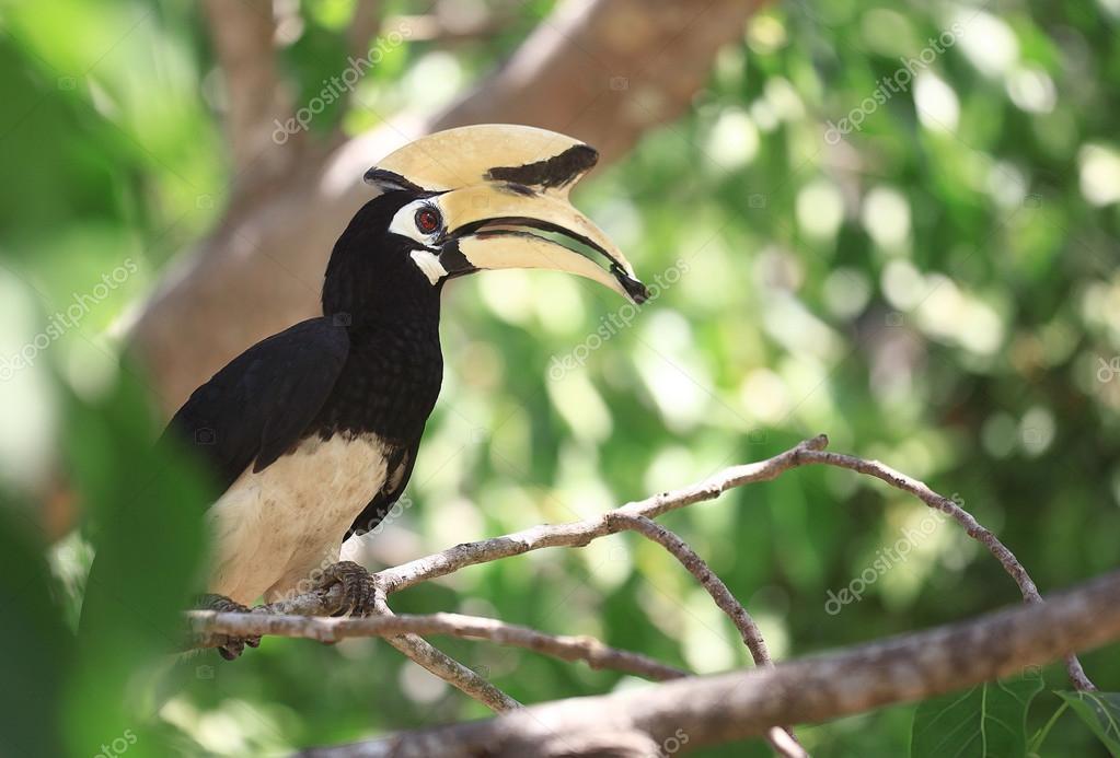 rhinoceros hornbill Bird