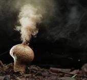 Puffball fungus spores