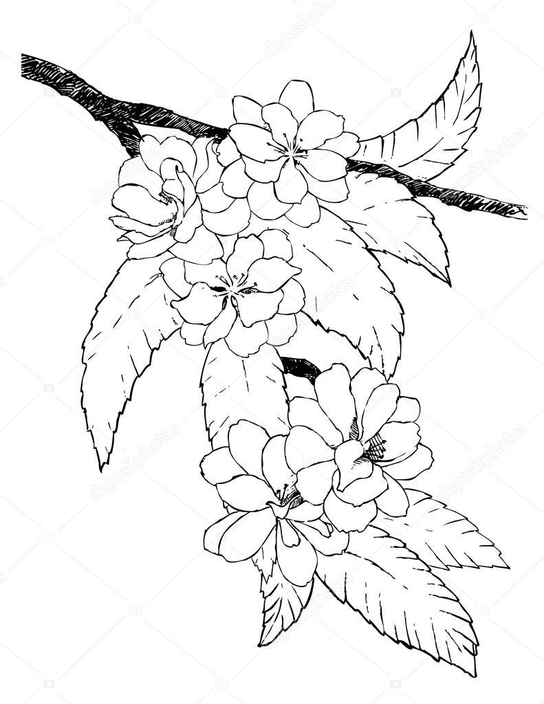 Hand gezeichnet Zweig der orientalische Kirsche — Stockvektor ...