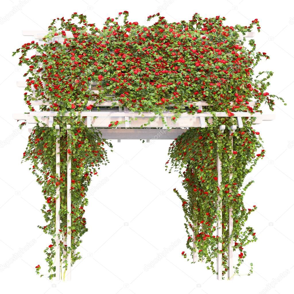 Bushes of red roses pergola