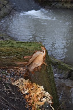 a Tree gnawed by the Beaver kinks