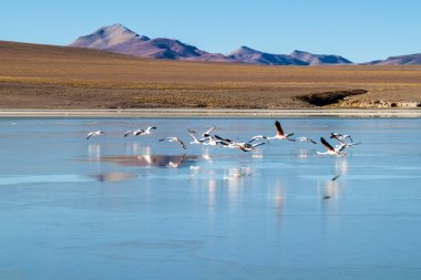 Flamingos in Laguna Collpa lake