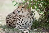 Fotografie gepard štíhlý