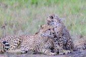 Fotografie gepard s dítětem v Masai Mara