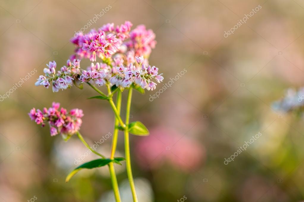 Buckwheat field in Blossom