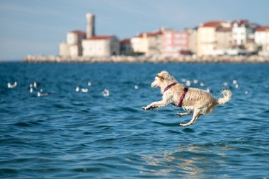 Golden Retriever dog jumping into sea