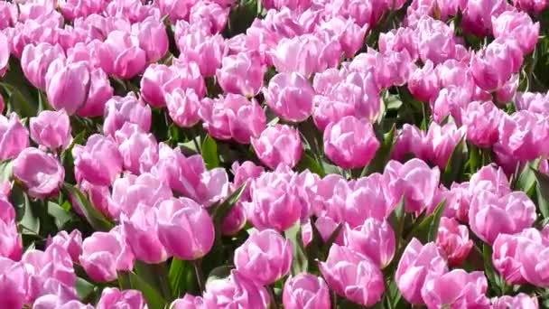 Field of tulips near the Keukenhof.