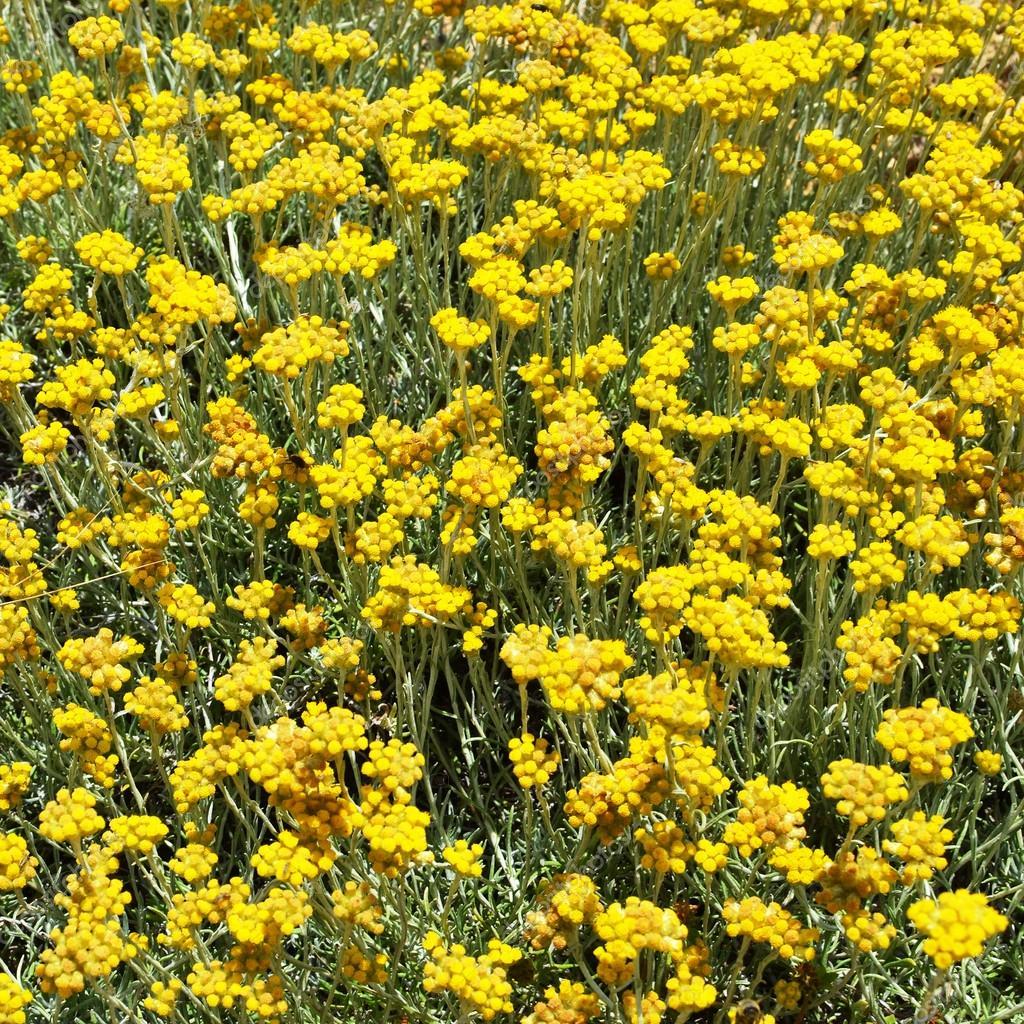 Helichrysum stoechas.