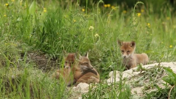 Red fox mláďata hraje u nory