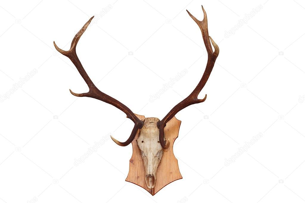 cráneo aisladas de un ciervo — Foto de stock © taviphoto #57545573