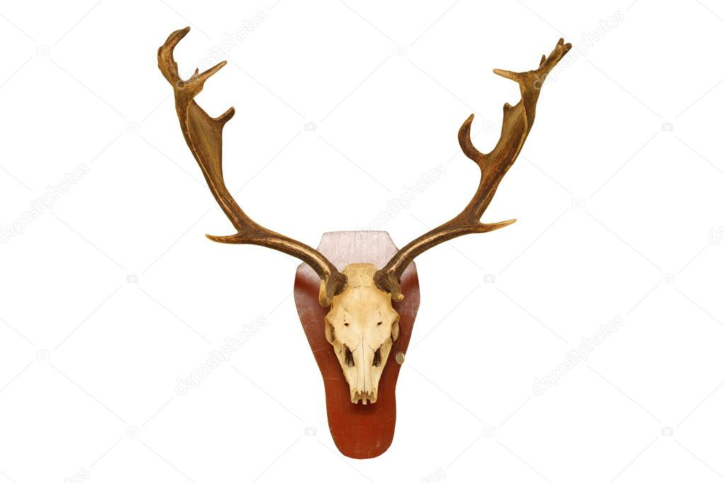 old fallow deer stag hunting trophy — Stock Photo © taviphoto #60440233