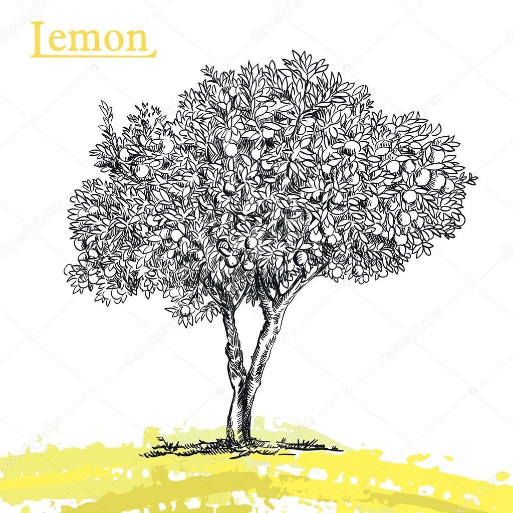 zitrone-baum-skizze — stockvektor © lapuma #102655890