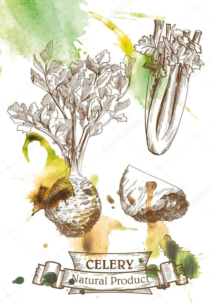 Imágenes: un apio para colorear   Raíz y hojas de apio — Vector de ...
