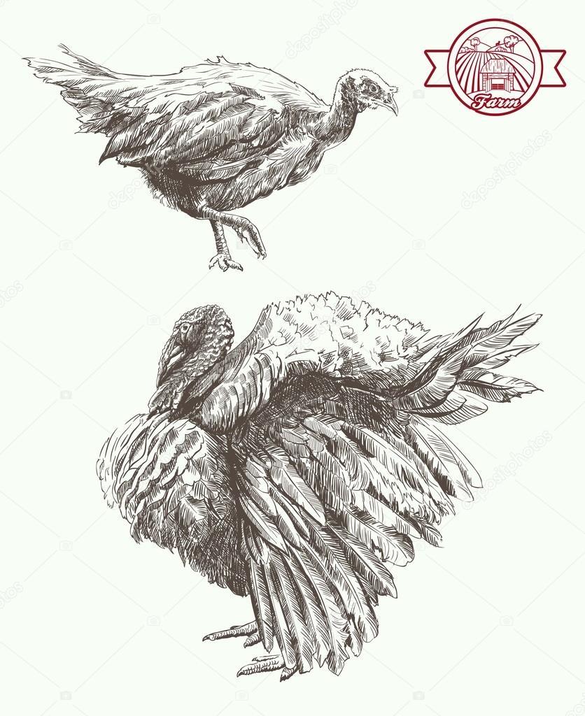 breeding turkeys