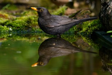 the Blackbird, while taking a bath