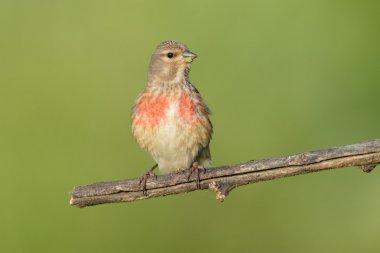 Small bird Eurasian Linnet eating