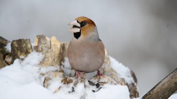 A madár eszik a magokat az meggyvágó téli