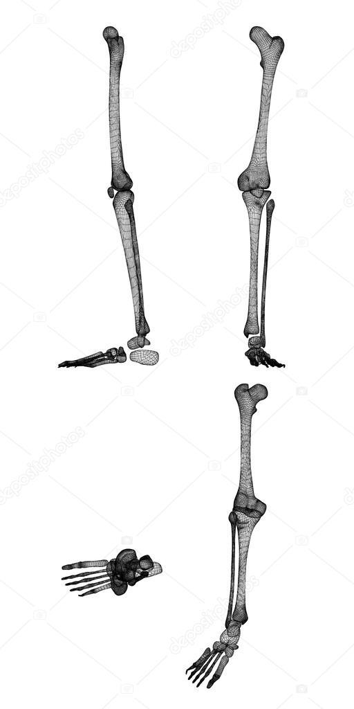 Menschliches Bein Skelett — Stockfoto © Podsolnukh #100339706