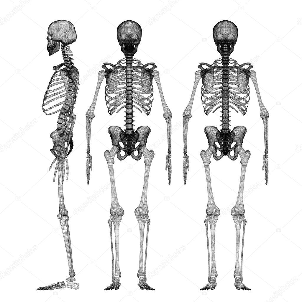 Menschlichen Körper, Skelett — Stockfoto © Podsolnukh #58454793