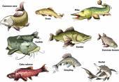 Fotografie Flussfische